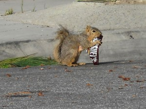 squirrel with a candy bar